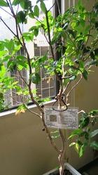 幹に美味しい実のなる木シャボチカバ
