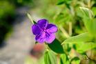 紫紺の野ボタンの偉大な氣は夢・希望を育ん...