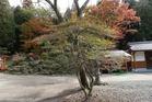 紅葉間近な阿蘇赤水の梅擬とモミジ