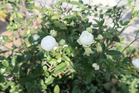 展示場で咲く淡い白色のバラ
