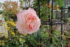 晩秋一輪のバラ