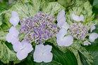 展示場に咲くアジサイの花