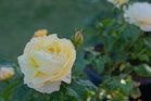 美しさに魅せられてバラを育ててバラを撮る