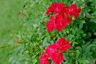 鮮やかな朱色のミニバラの花に魅かれて